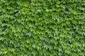 Parthenocissus tricuspidata plants Royalty Free Stock Photo