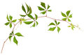 Parthenocissus twig with green leaves isolated on white Royalty Free Stock Photo