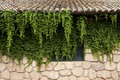 Parthenocissus veitchii or Virginia creeper Royalty Free Stock Photo