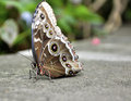 Parthenos Sylvia Clipper Butterfly Stock Photography