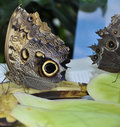 Parthenos Sylvia Clipper Butterfly Stock Photos