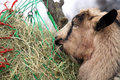 Parti goat eating hay from the net winter on the farm Stock Photo
