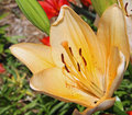 Partially open cream colored asiatic lily. Royalty Free Stock Photo