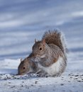 Partners in crime tree squirrels eating sunflower seeds on top of the ice Royalty Free Stock Images