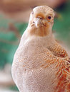 Partridge Royalty Free Stock Photo