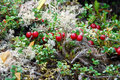 Partridge berry Royalty Free Stock Photo