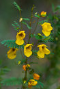 Partridge pea chamaecrista fasciculata blooming in autumn Royalty Free Stock Photos