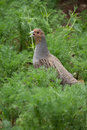 Partridge Royalty Free Stock Photo