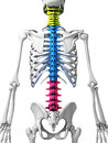 Parts of human spine d rendered illustration Stock Photos
