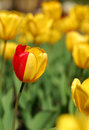 Party-colored yellow & red tulip Royalty Free Stock Photography