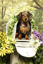 Party Dachshund in a Mailbox Royalty Free Stock Photos