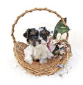 Party Yorkie Puppy Royalty Free Stock Image