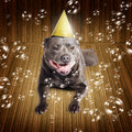 Partytime for a staffie birthday dog beautiful blue pedigreed staffordshire bull terrier on his or new year lying smiling on wood Royalty Free Stock Image