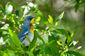 Parula do norte Imagem de Stock Royalty Free