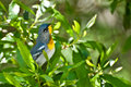 Parula do norte Foto de Stock Royalty Free
