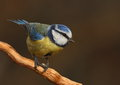 Parus caeruleus tit Royalty Free Stock Images