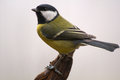 Parus major - Tit Royalty Free Stock Photography