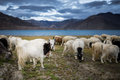 Pashmina goat group of at pangong tso lake Stock Image