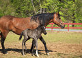 A paso fino mare horse at a farm with her newborn colt Stock Photography