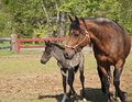 A paso fino mare horse at a farm with her newborn colt Royalty Free Stock Photos
