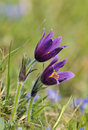 Pasque Flower Stock Photos