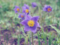 Pasque flower first spring flower pulsatilla vulgaris Royalty Free Stock Photography