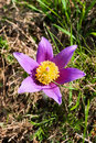 Pasque flower on the meadow Stock Image