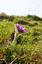 Pasque flower on the meadow Royalty Free Stock Photos