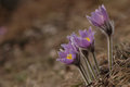 Pasque flower - Pulsatilla Stock Photography