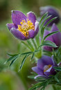 Pasque flower pulsatilla patens glows in springtime light Royalty Free Stock Photo