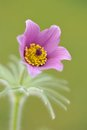 Pasque flower pulsatilla vulgaris bloom of nice Royalty Free Stock Image