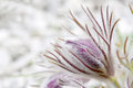 Pasque flower in spring photographed in march near frankfurt am main germany Stock Photography