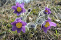 The pasque flowers early in morning. Royalty Free Stock Photography
