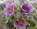 Pasque flowers tuft flower in spring garden Royalty Free Stock Photos