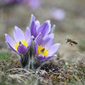 Pasque wild flower with a bee in sunny springtime Royalty Free Stock Images