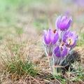 Pasque wild flower con la coccinella Fotografia Stock