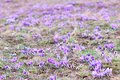 Pasque wild flowers Images stock