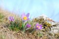 Pasque wild flowers blooming in spring early springtime Royalty Free Stock Images