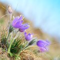 Pasque wild flowers blooming in spring early springtime Royalty Free Stock Photography