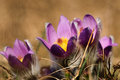 Pasqueflower early spring flower violet on a meadow with grass Stock Images