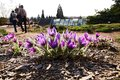 Pasqueflowers purple pulsatilla blooming in a sunny day pulsatilla on stony ground people in an ornamental garden Stock Photo