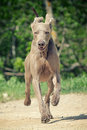Passage de crabot de Weimaraner Photos stock