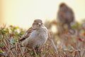 Passer domesticus Royalty Free Stock Image
