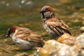Passer domesticus sparrows bathing Royalty Free Stock Photography