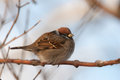 Passer montanus sparrow sitting on a branch Royalty Free Stock Photos