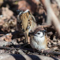 Passer montanus sparrows on fallen autumn leaves in spring Stock Photography