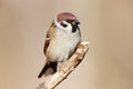 Passer montanus tree sparrow is in the nature russia Stock Images