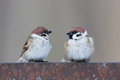 Passer montanus tree sparrow is in the nature russia Stock Photo