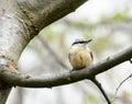Passerine bird eurasian nuthhatch a small Royalty Free Stock Photos