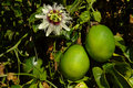 Passiflora edulis - passion fruits Stock Image